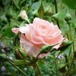 Как из черенка розы вырастить новую розу