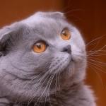 Шотландский вислоухий кот – личность в вашем доме