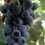 Совет, как можно сделать домашнее вино