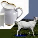 Совет о преимуществах козьего молока