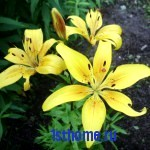 Совет: как рассадить лилии