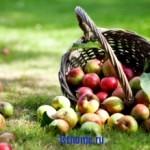 Совет: сохраним яблоки до весны