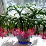 Совет: три цветения декабриста в год