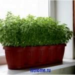 Совет: как вырастить зелень на подоконнике
