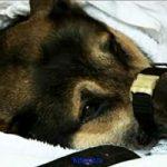 Как начать  кормить собаку, которая перенесла операцию?