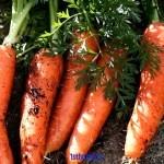 Как вырастить крупную морковь? Советы