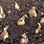 Как весной посадить гладиолусы