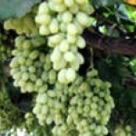 Как в мае ухаживать за виноградом