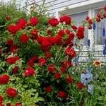 Как правильно ухаживать весной за розами