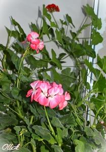 ПеларгонияКрупноцветковая