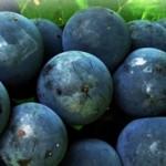 О целебных свойствах винограда
